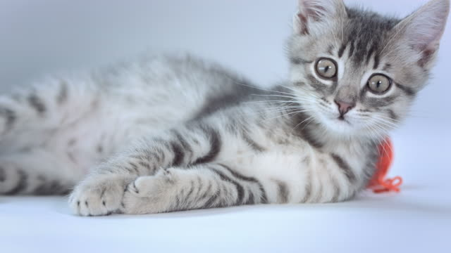 hd: curious kitten - gray color stock videos & royalty-free footage