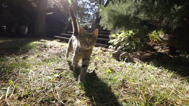 晴れた日に草地を歩く好奇心旺盛な小さな猫 - ショートヘア種の猫点の映像素材/bロール