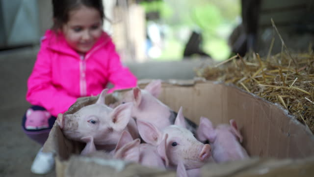 curious little girl looking at newborn pigs in a cardboard box at the ranch - stroking stock videos & royalty-free footage