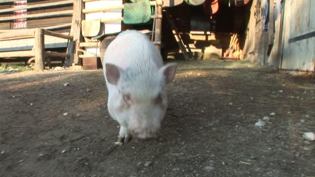 hd :好奇心旺盛な豚の - ブタ点の映像素材/bロール