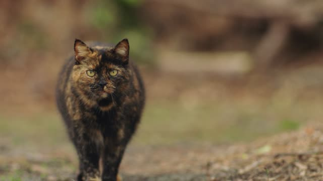 curious orange and black stray cat walks forward and pauses to stare into camera before quickly running away. - staring stock videos & royalty-free footage