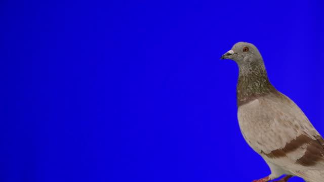 好奇心の強い鳩スタイルを - 小さめのハト点の映像素材/bロール