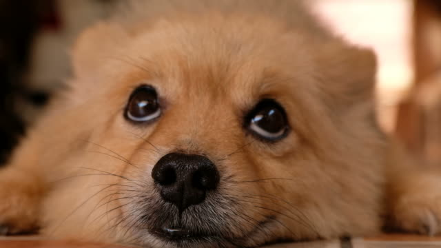 curious pomeranian dog - animal head stock videos & royalty-free footage