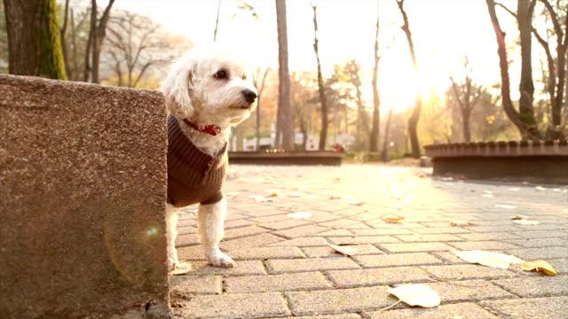 vídeos de stock, filmes e b-roll de curioso de poodle - casaco curto com mangas