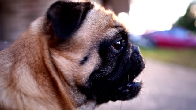 curious pug dog - dog blinking stock videos & royalty-free footage