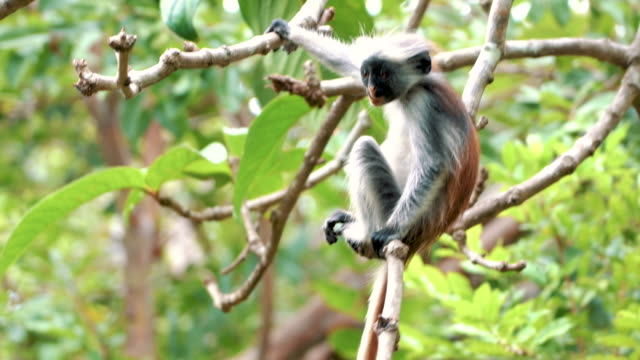 curious red colobus monkey - leaf stock videos & royalty-free footage