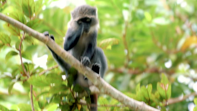 curious red colobus monkey - endangered species stock videos & royalty-free footage
