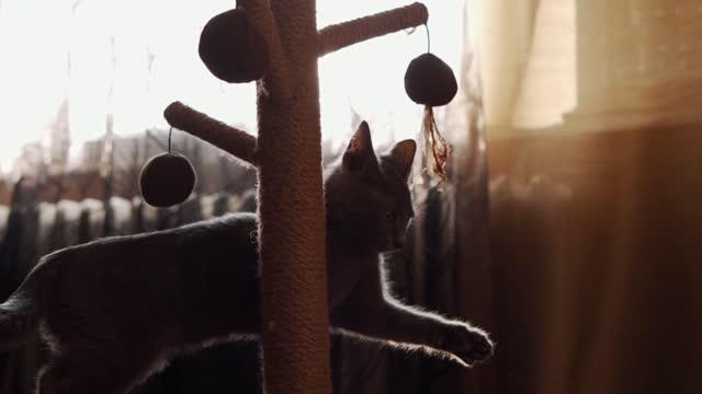 vídeos y material grabado en eventos de stock de curioso gato azul ruso le encanta jugar con su rascador - gris