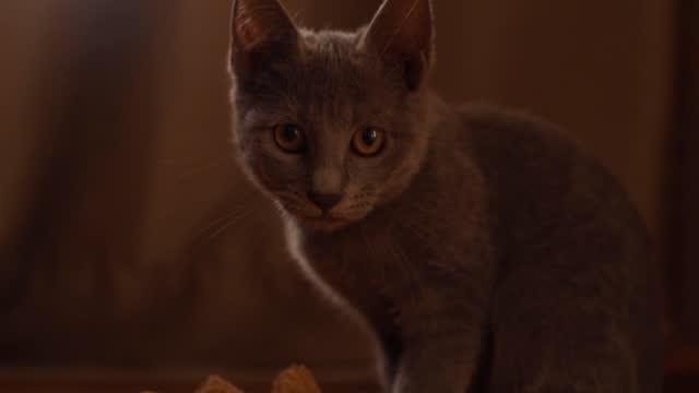 彼女の所有者が家にいない間、好奇心旺盛なロシアの青い猫はポンポンで遊んでいます - 優雅点の映像素材/bロール