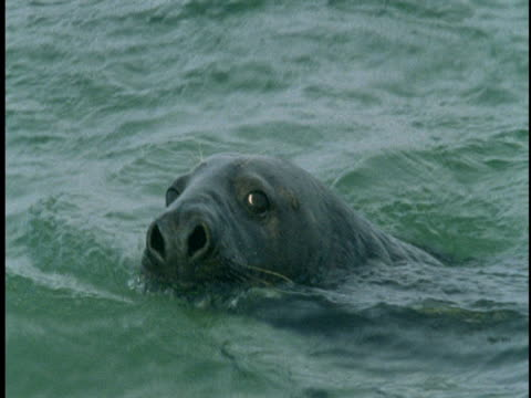 curious seals swim in the waters off sable island. - grey seal stock videos and b-roll footage