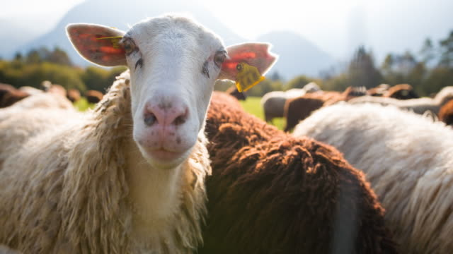 curious sheep looking at camera, while others grazing on pasture - livestock tag stock videos and b-roll footage