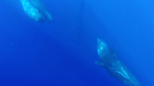 Curious sperm whales swim under the camera, north western coast Mauritius.