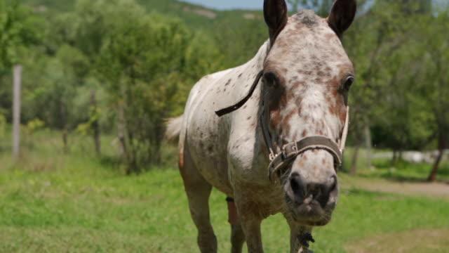 neugieriges geflecktes pferd in der natur - zaum stock-videos und b-roll-filmmaterial