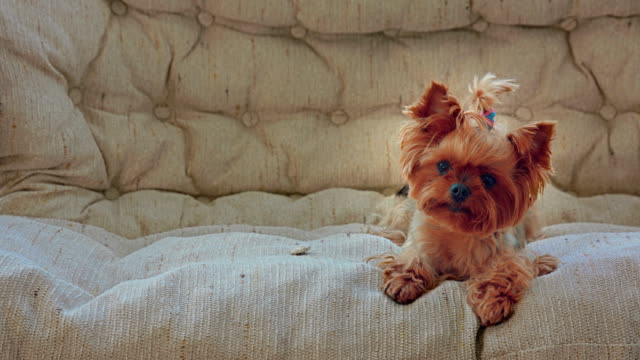 vídeos de stock e filmes b-roll de curious yorkshire terrier on the sofa - cachorro