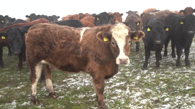 curiously approaching the camera on a misty day in stow bedon norfolk - bull animal stock videos & royalty-free footage