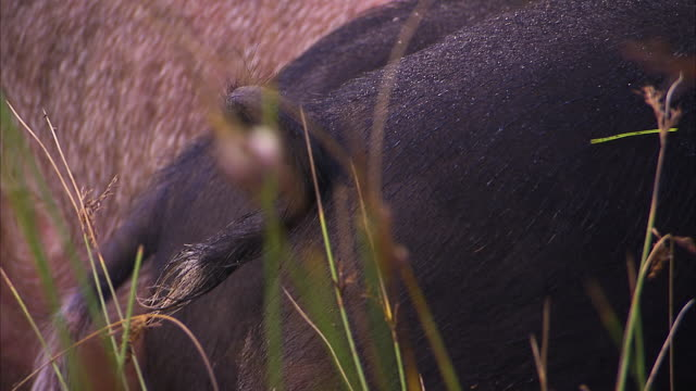 a curled pig's tail - pig stock videos and b-roll footage