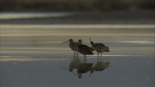 vídeos de stock, filmes e b-roll de curlew birds on a shallow pond - pilrito
