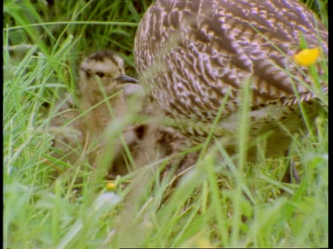 curlew chicks and curlew, amongst grass and buttercups, england, uk - ranunkel stock-videos und b-roll-filmmaterial