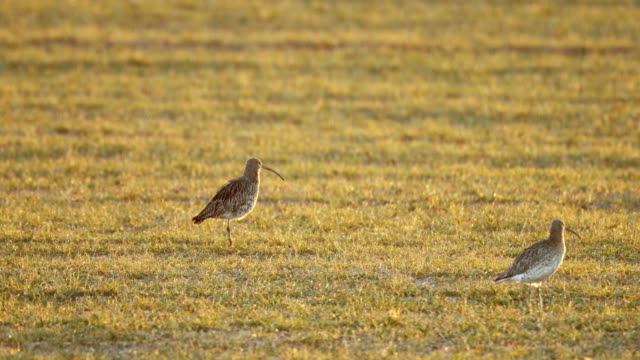 vídeos de stock, filmes e b-roll de curlew feeds in a farmers field on march 20 2018 in london england the curlew is one of the uk's most rapidly declining breeding bird species with a... - pilrito