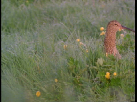 curlew head pops up, walking about in grass, england, uk - hide and seek stock videos & royalty-free footage