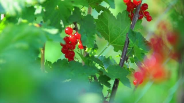 currant - planting currant - currant stock videos & royalty-free footage