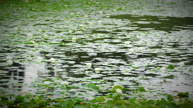 current passing through water lilies on a pond - uncultivated stock videos & royalty-free footage