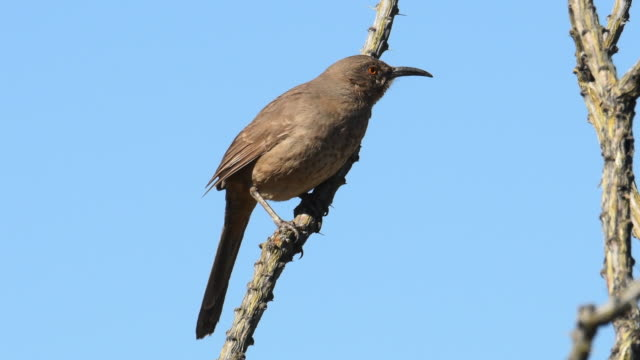 Curve-billed Thrasher perches on branch, Arizona