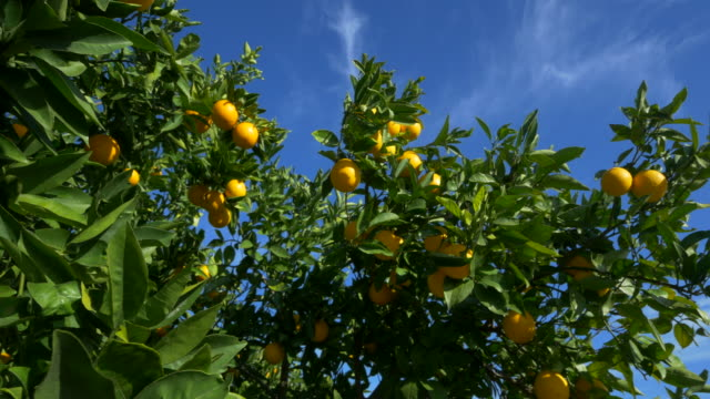 curved travel shot, orange trees in orchard against blue sky