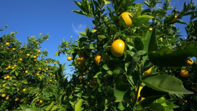 stockvideo's en b-roll-footage met curved travel shot, orange trees in orchard against blue sky - vitamine c