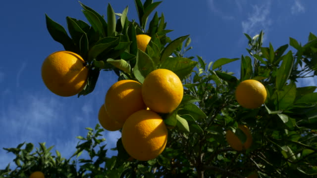 curved travel shot, orange trees in orchard against blue sky - ascorbic acid stock videos and b-roll footage
