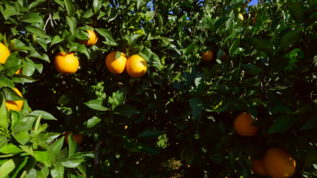 curved travel shot, sunlight on ripe oranges and leaves - ascorbic acid stock videos & royalty-free footage