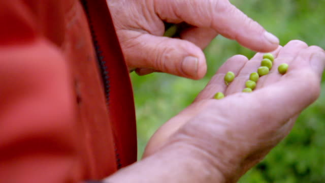 cus a farmer inspects a pea crop - quality control stock videos & royalty-free footage