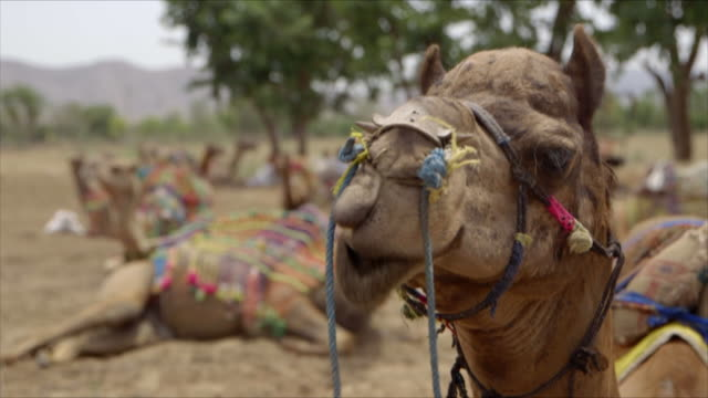 cus camels with ornate decoration rest - camel stock videos & royalty-free footage