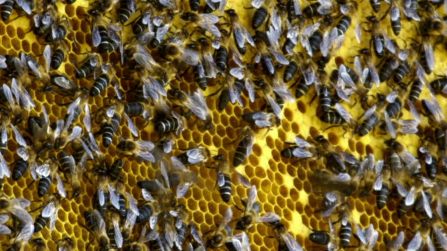 cus himalayan honey bees on honeycomb - colony group of animals stock videos & royalty-free footage