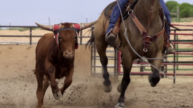 cus of bulls being roped at a rodeo, utah - fangen stock-videos und b-roll-filmmaterial