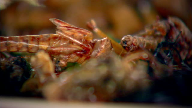 cus plate of cooked insects, thailand - grillo insetto video stock e b–roll