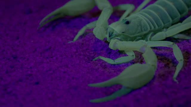 cus scorpion glows under uv light - 外骨格点の映像素材/bロール