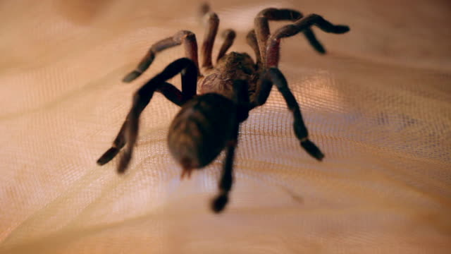 cus tarantulas - arachnophobia stock videos & royalty-free footage
