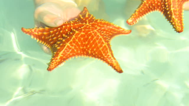 Cushion starfishes