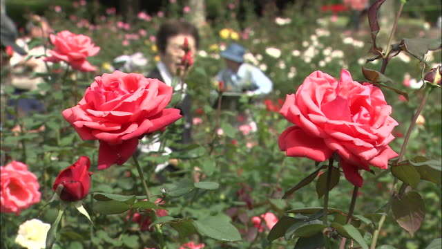 customers inspect roses at a nursery. - orticoltura video stock e b–roll