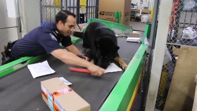 customs and border protection working canine walks the conveyor belt at chicago o'hare's international airport and alerts it's handler to a package... - crime or recreational drug or prison or legal trial stock-videos und b-roll-filmmaterial
