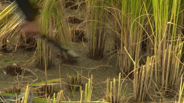 stockvideo's en b-roll-footage met cut down the rice using by sickle - alleen één oudere man