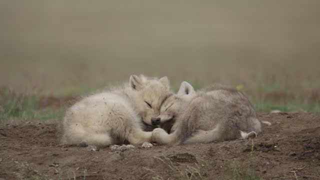 ms 2 cute arctic wolf cubs sleeping together on tundra - arctic stock videos & royalty-free footage