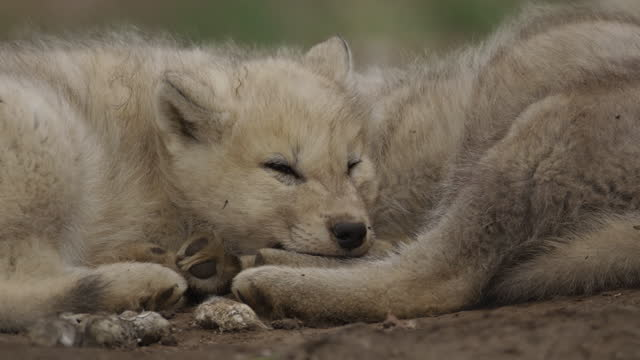 cu 2 cute arctic wolf cubs sleeping together on tundra - arctic stock videos & royalty-free footage