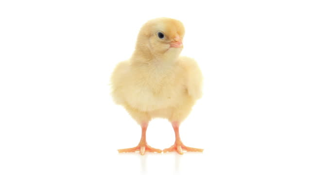 hd cute baby chick isolated on white - young bird stock videos & royalty-free footage