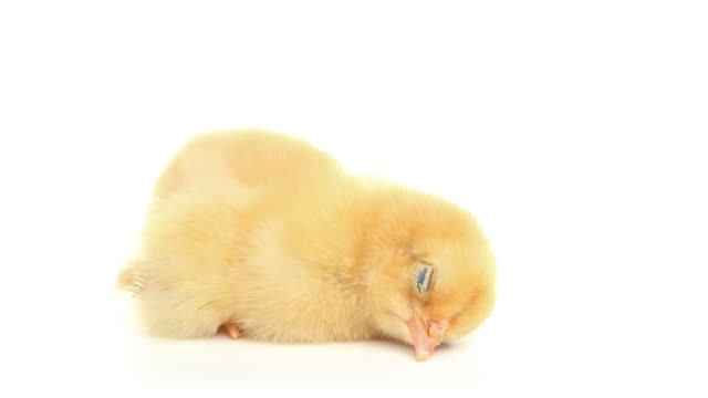 hd cute baby chick sleeping isolated - young bird stock videos & royalty-free footage