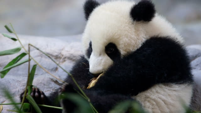stockvideo's en b-roll-footage met cute baby panda - dierentuin