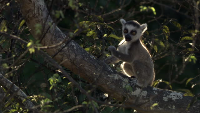 Cute baby ring tailed lemur (Lemur catta) clambers and plays in tree, Madagascar