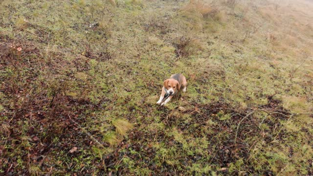 cute beagle dog - foxhound stock videos & royalty-free footage