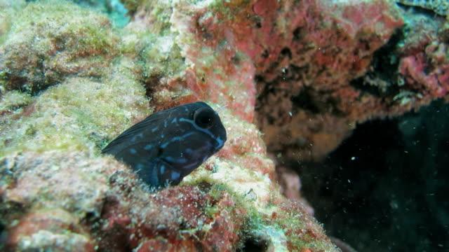 Süße Zweifarben-Schleimfisch verbergen sich im coral reef